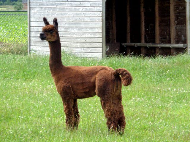 Excursie alpaca's